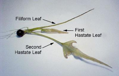 how to make citrus seeds germinate quickly