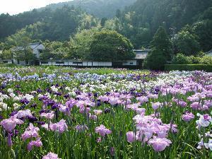 Iris Ensata Waterlilies In Japan