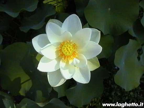 http://www.victoria-adventure.org/waterlilies_images/gianluca/alba_grandiflora.jpg